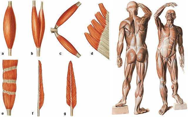 Sistema Muscular Intérprete Energético