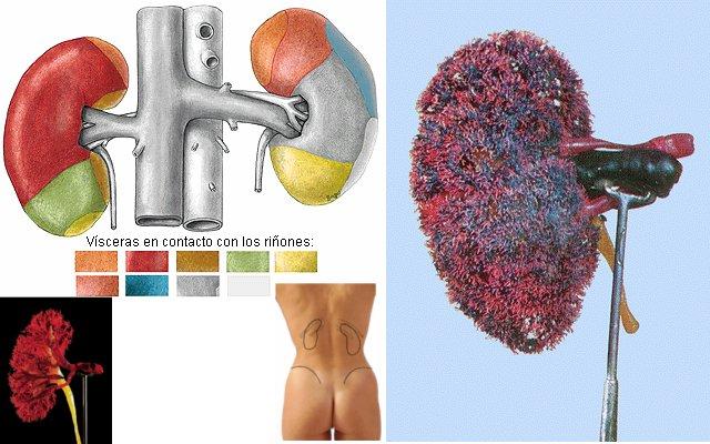 Sistema urinario | Intérprete Energético