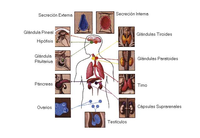 el sistema endocrino | Intérprete Energético