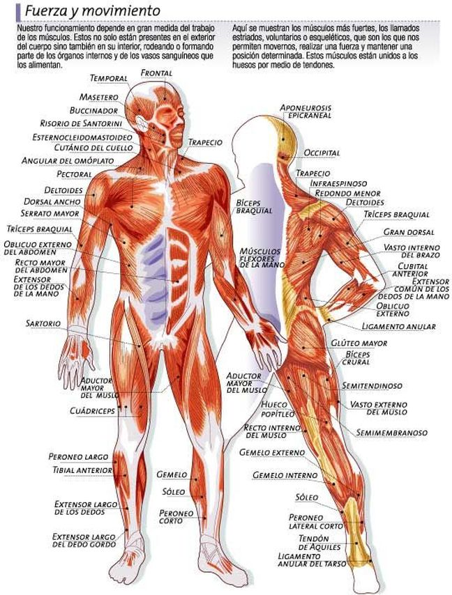 anatomía funcional | Intérprete Energético