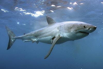 20080512221946-tiburon-blanco