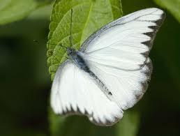 blanca mariposa