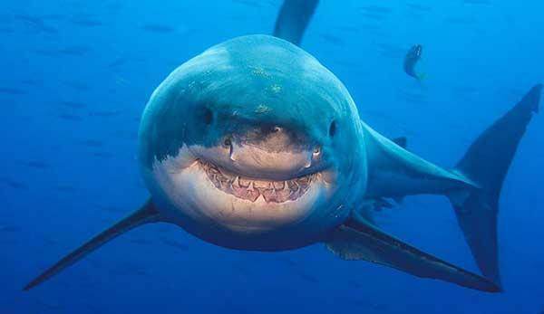 tiburon-sonriente